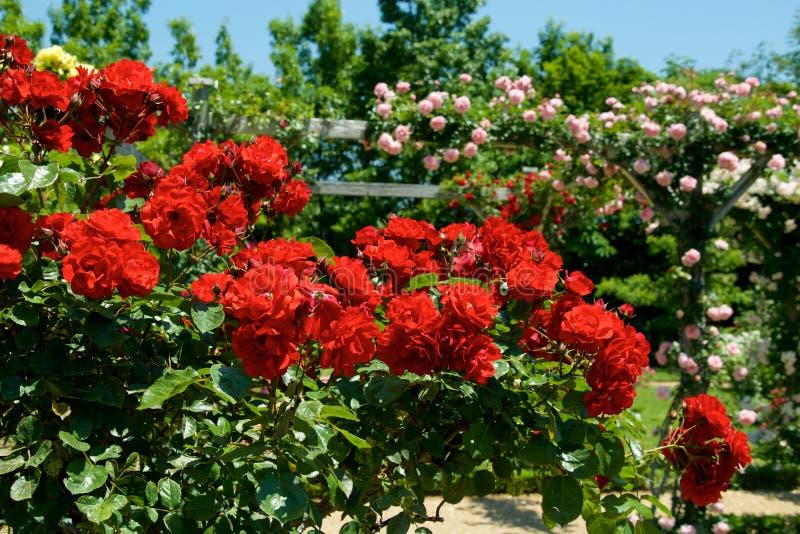A cor vermelha bonita aumentou florescido no jardim foto de stock