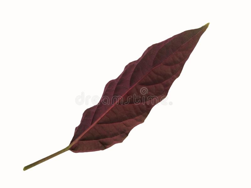 Cor violeta na folha traseira de Quezonla fotografia de stock royalty free