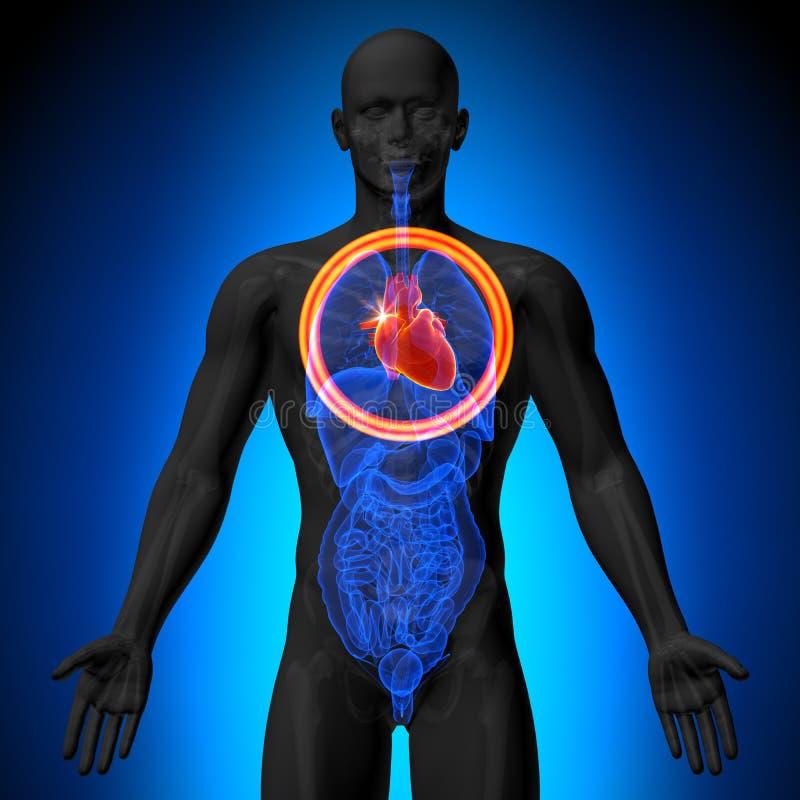 Coração - anatomia masculina dos órgãos humanos - opinião do raio X ilustração do vetor