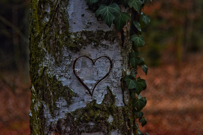 Coração cinzelado em uma árvore fotografia de stock