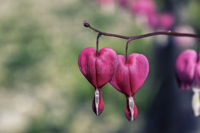 Coração cor-de-rosa flor dada forma foto de stock