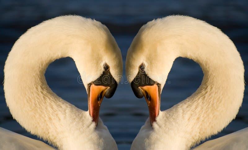 Coração da cisne foto de stock royalty free