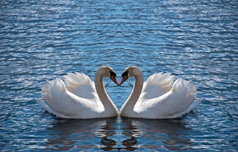 Coração da cisne imagens de stock royalty free