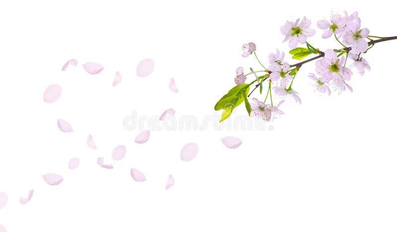 Coração das pétalas da árvore de cereja da mola foto de stock royalty free