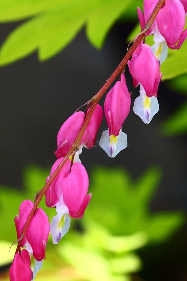 Coração de sangramento cor-de-rosa colorido vibrante fotos de stock