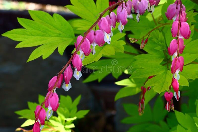 Coração de sangramento cor-de-rosa colorido vibrante foto de stock