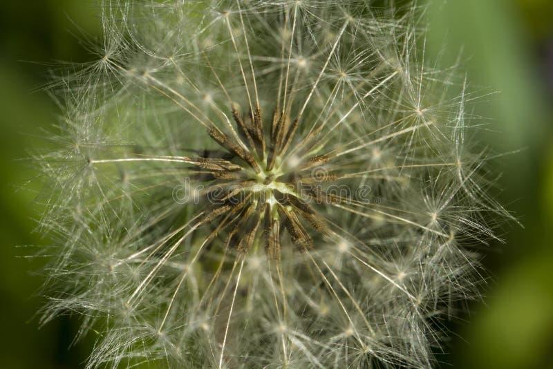 Coração de um dente-de-leão Estrutura da flor do verão fotografia de stock