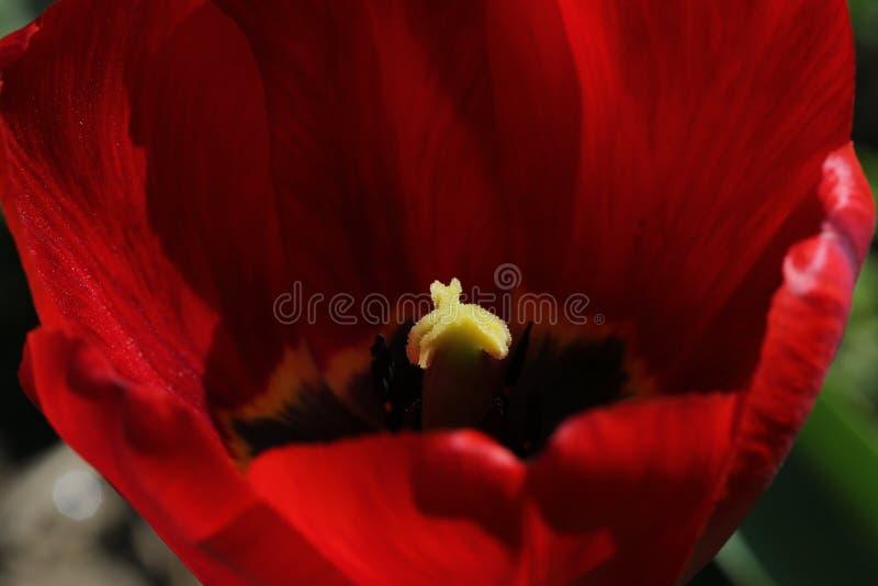 Coração de uma flor vermelha imagens de stock