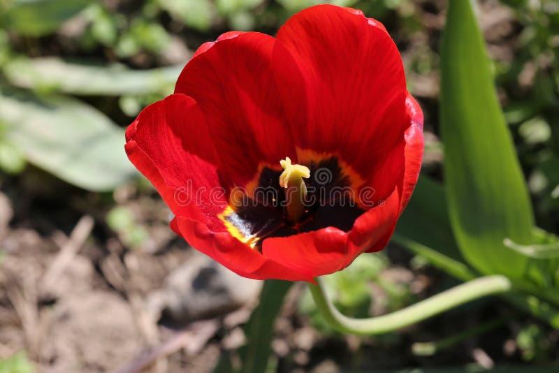 Coração de uma flor vermelha fotos de stock royalty free
