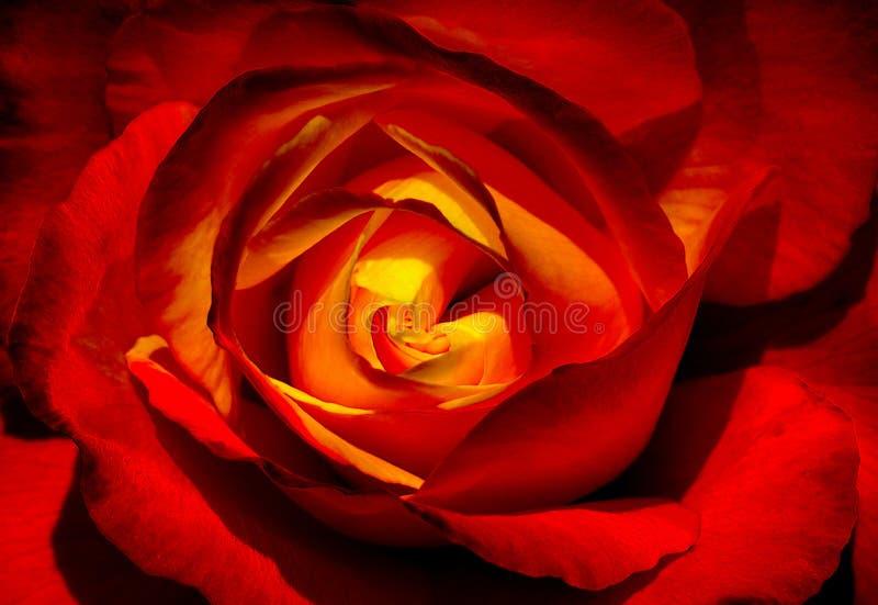 Coração de uma rosa imagem de stock royalty free