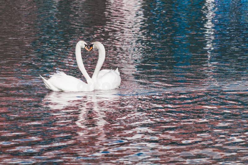 Coração do amor de duas cisnes fotos de stock