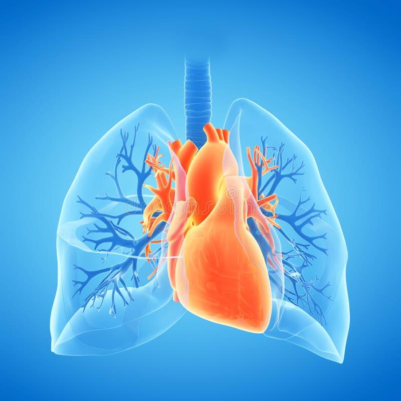 Coração e pulmão ilustração do vetor