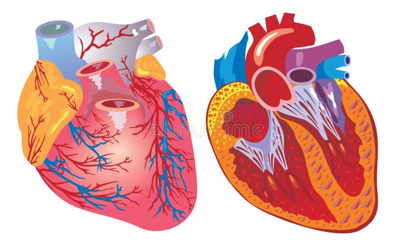 Coração e sistema cardiovascular ilustração stock