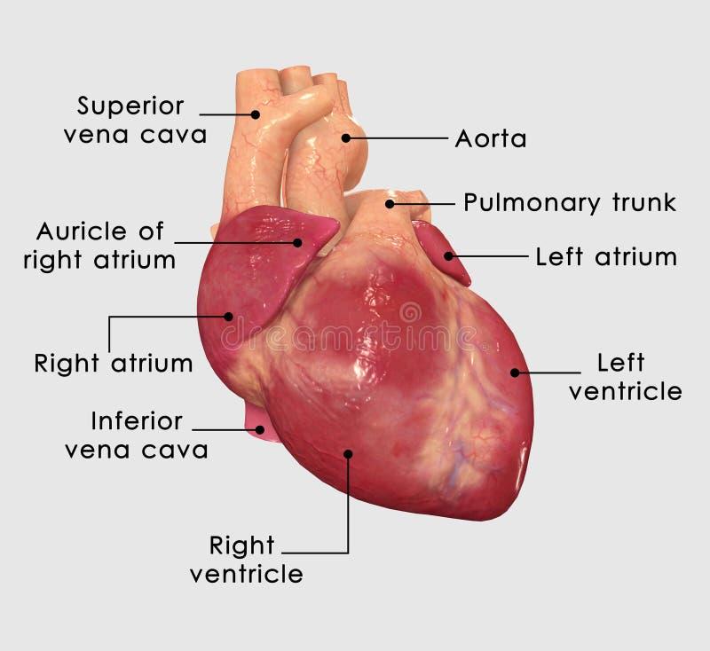 Coração humano ilustração stock