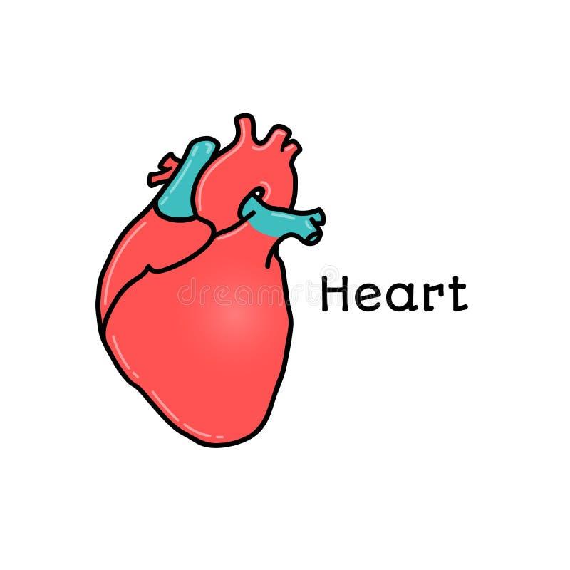 Coração humano, ilustração anatômica do vetor ilustração do vetor