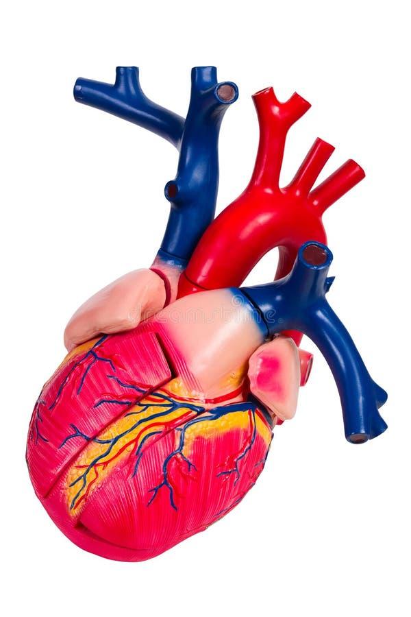 Coração humano, modelo anatômico imagens de stock