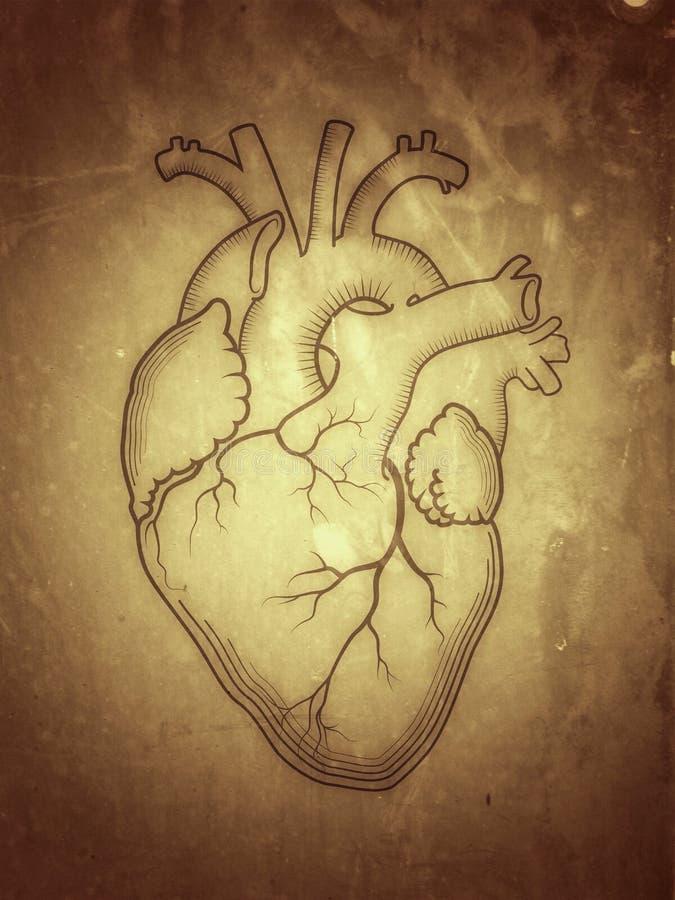 Coração O órgão humano interno, estrutura anatômica ilustração royalty free