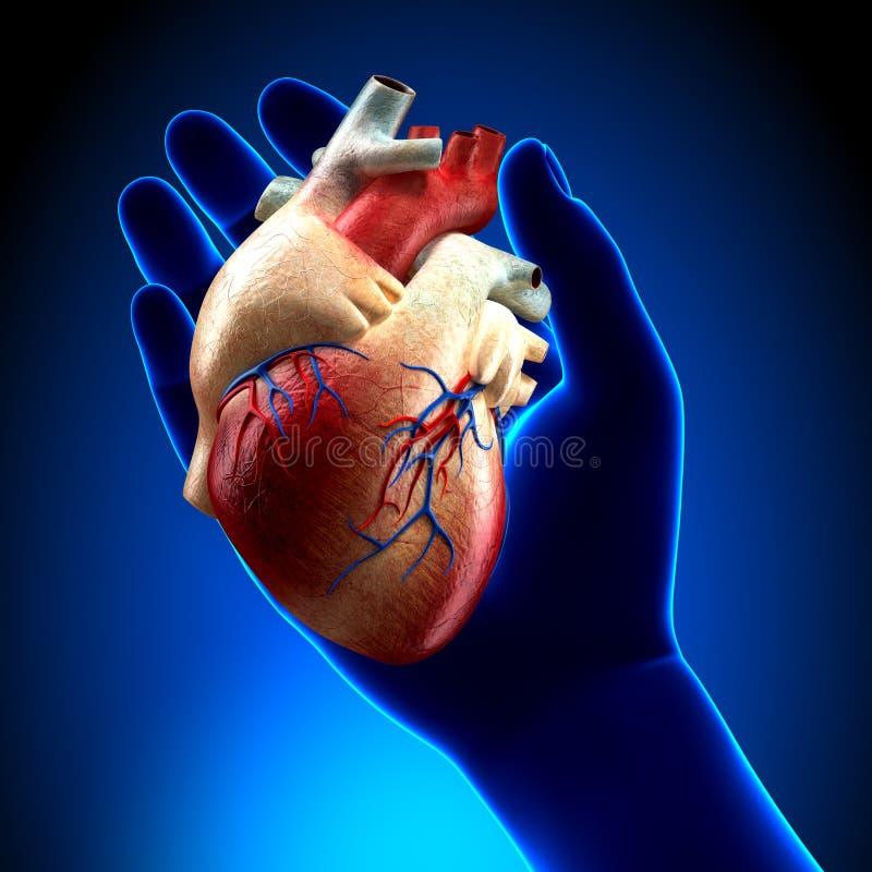 Coração real na mão azul ilustração stock