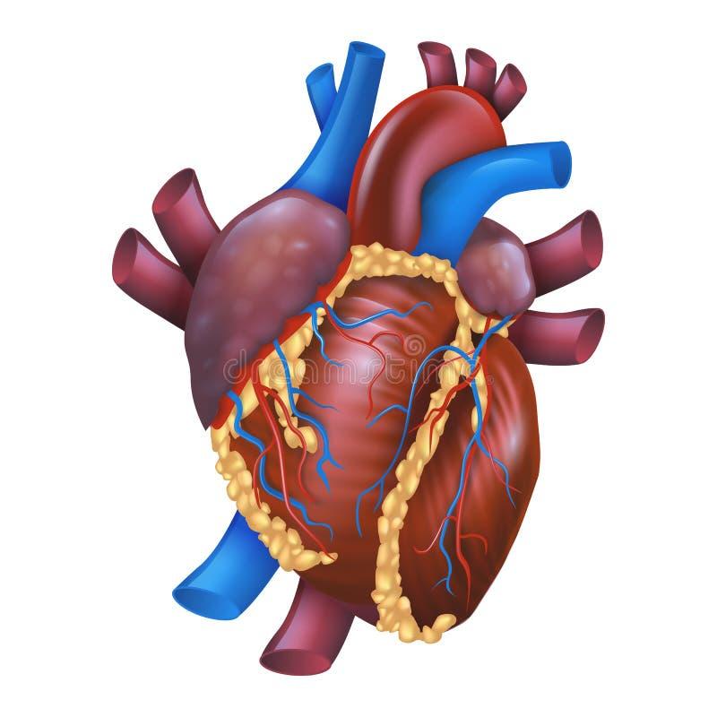 Coração saudável humano da ilustração realística do vetor ilustração stock
