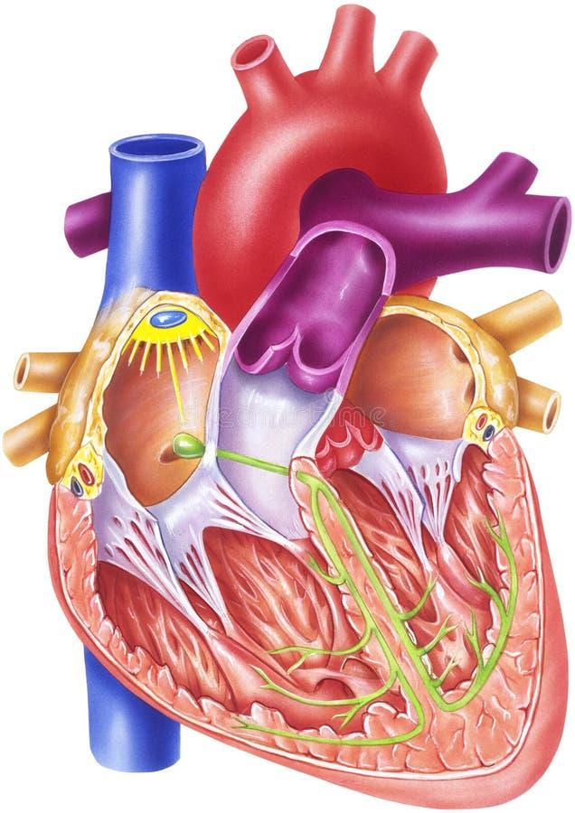 Coração - sistema da condução ilustração do vetor