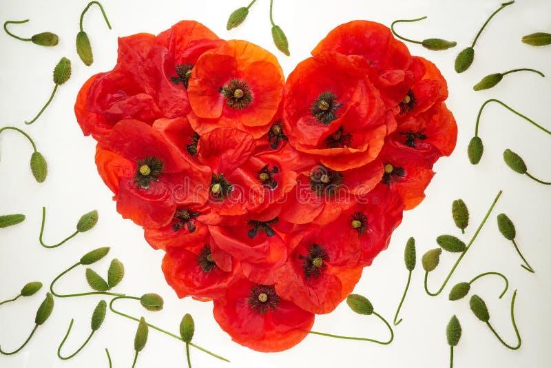 Coração vermelho das flores das papoilas em um fundo branco, em torno dos tiros do verde do esperma do enrolamento das flores imagem de stock