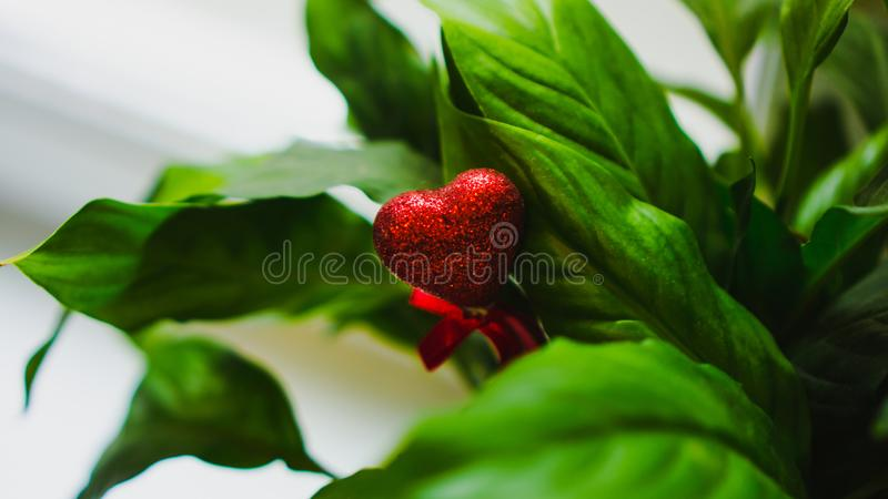 Coração vermelho no meio do close up verde colorido das folhas Amor, Valentim, o 8 de março, natureza tropical, folha verde no ja imagens de stock