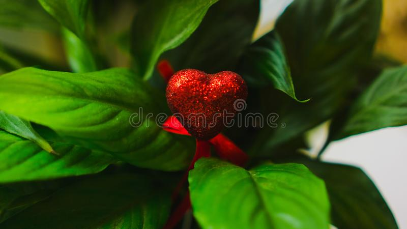 Coração vermelho no meio do close up verde colorido das folhas Amor, Valentim, o 8 de março, natureza tropical, folha verde no ja imagem de stock royalty free