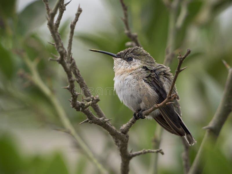 Cora hummingbird wakker op een tak stock afbeelding