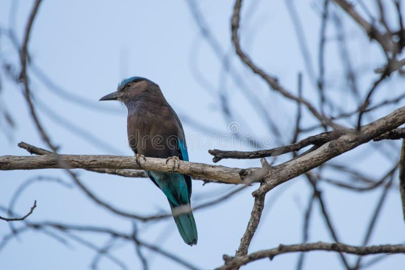 Coracias benghalensis, Birds are sticking to dry branches. Coracias benghalensis Looking for food While sticking to dry branches stock image