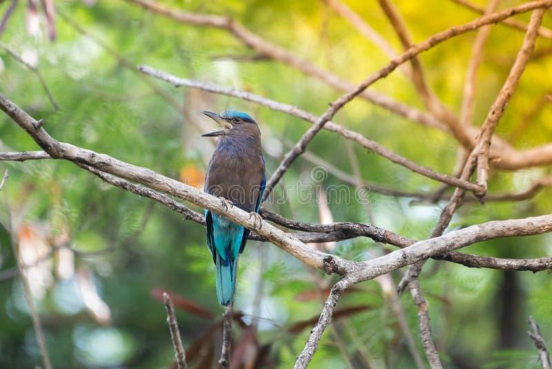 Coracias benghalensis, Birds are sticking to dry branches. Coracias benghalensis Looking for food While sticking to dry branches stock photography
