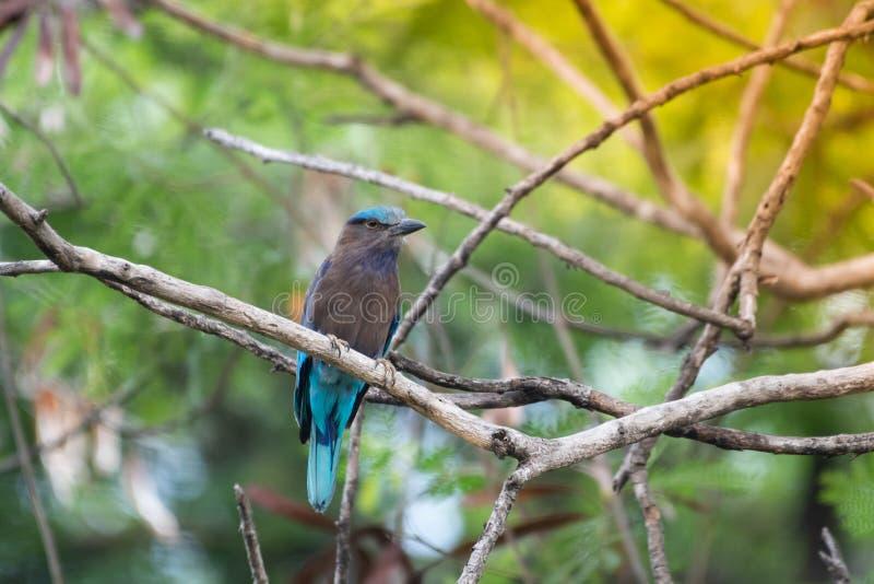 Coracias benghalensis, Birds are sticking to dry branches. Coracias benghalensis Looking for food While sticking to dry branches stock images