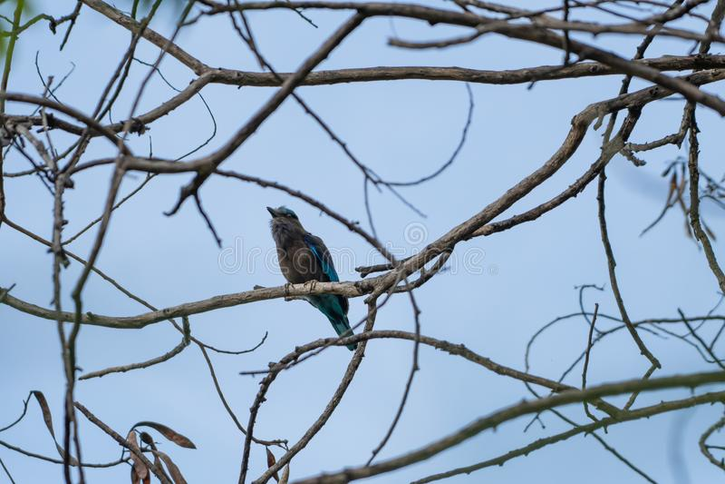 Coracias benghalensis, Birds are sticking to dry branches. Coracias benghalensis Looking for food While sticking to dry branches stock photo