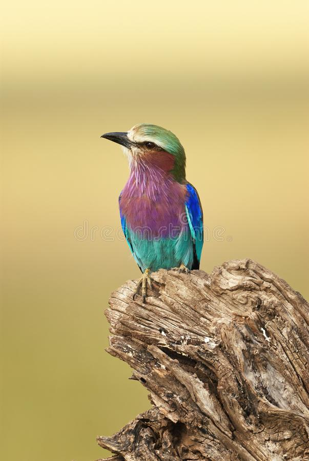 Beautiful Lilac-breasted roller Coracias caudatus. Coracias caudatus, Lilac breasted roller perched on a brunch while looking around for food stock image