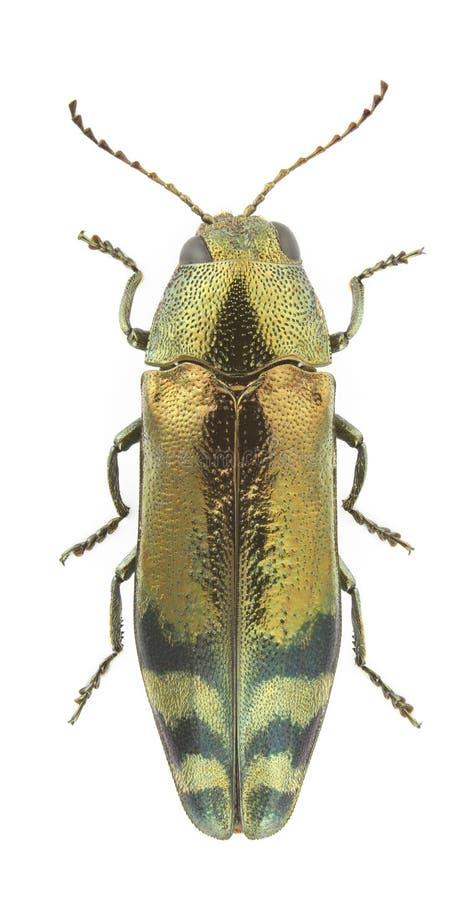 coraebus fasciatus obrazy stock