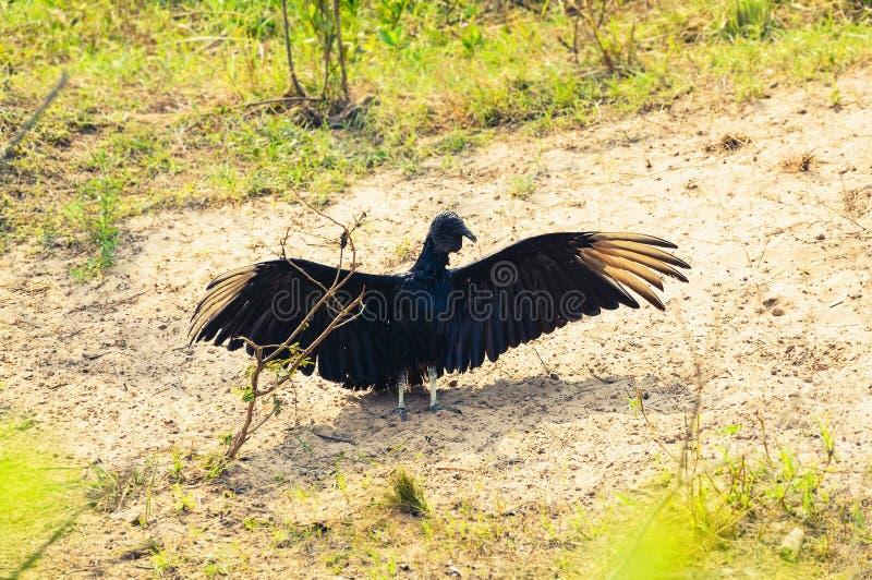 Coragyps Atratus dell'avvoltoio nero con le ali aperte che prendono un sunbath fotografia stock libera da diritti