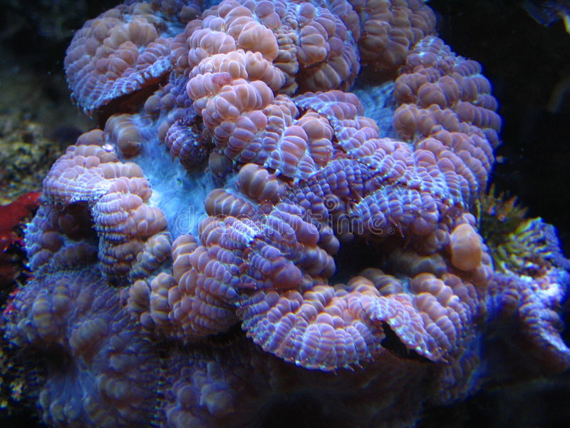 Corail - Blastomussa photo libre de droits