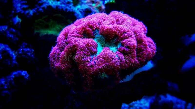 Corail coloré de LPS de Blastomussa - wellsi de Blastomussa images libres de droits