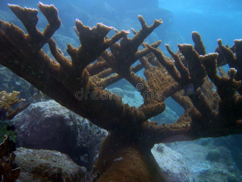 Corail d'Elkhorn photographie stock libre de droits