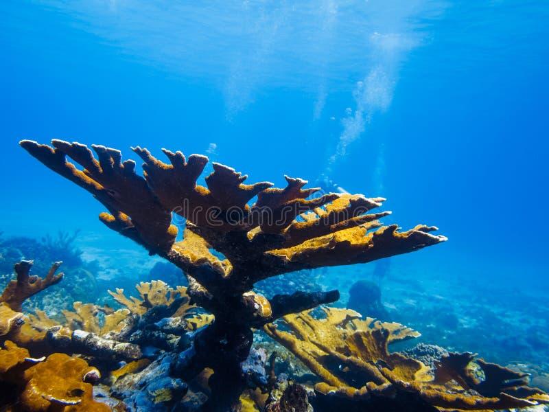 Corail d'Elkhorn (palmata d'Acropora) sur le récif photographie stock libre de droits