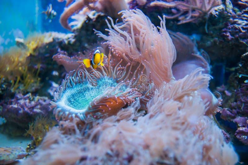 Corail dans l'aquarium images libres de droits