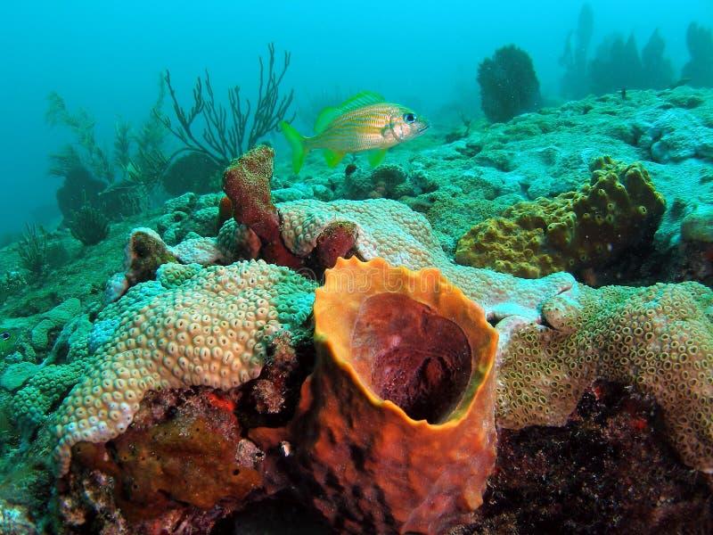 corail de baril image stock
