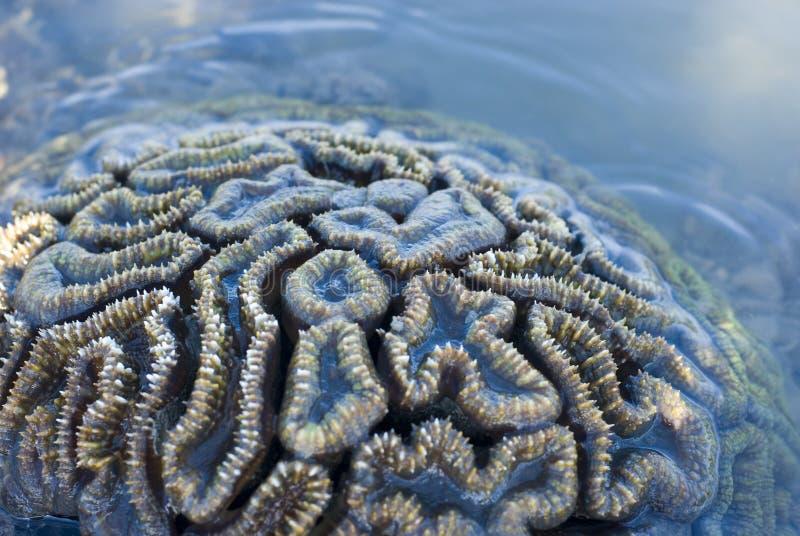 Corail de cerveau photos libres de droits