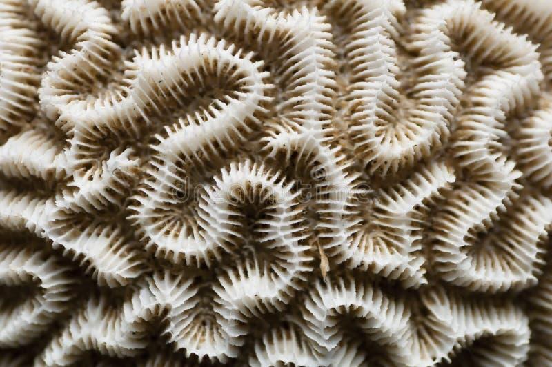 corail de cerveau blanc image stock image du closeup 16409519. Black Bedroom Furniture Sets. Home Design Ideas