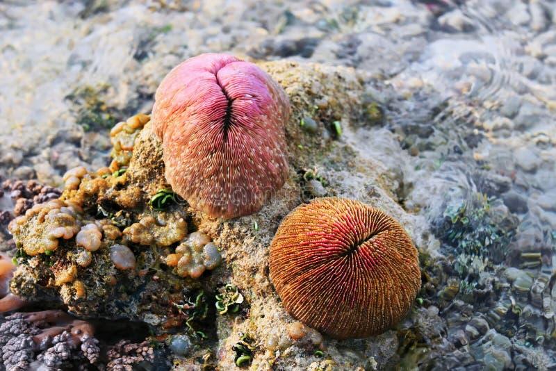 Corail de champignon avec le polype rétracté (Fungia). photographie stock