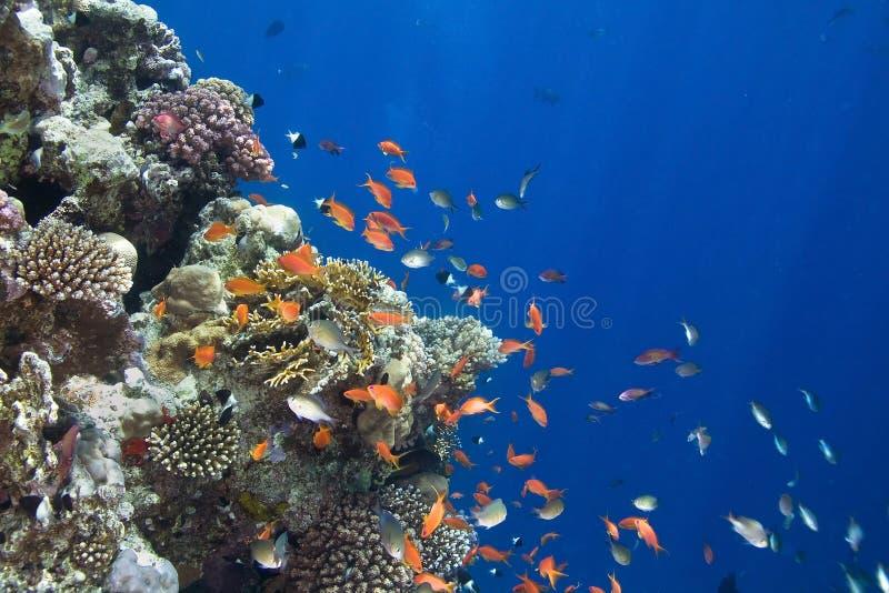 corail de colonie image stock