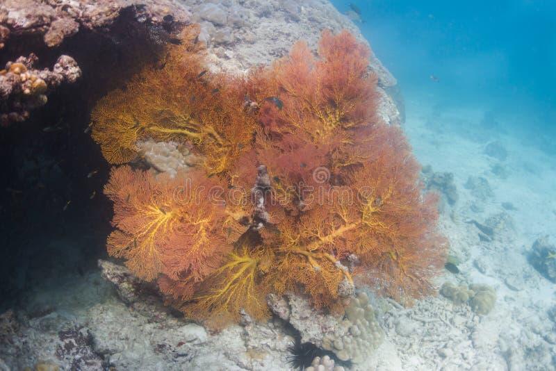 Corail de fan noué par jaune à l'île de Lipe images libres de droits