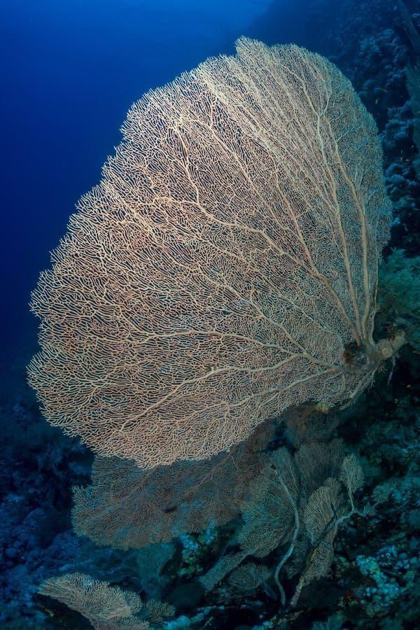 Corail de Gorgonian en Mer Rouge photos stock