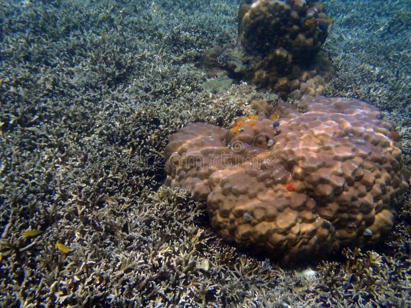 Corail de lobe et corail d'acropora photo libre de droits