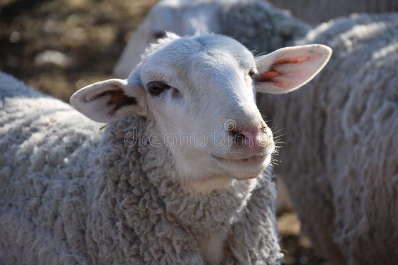 Corail de moutons du ` s de grand-maman : Moutons de Navajo augmentant pendant le 21ème siècle photos stock