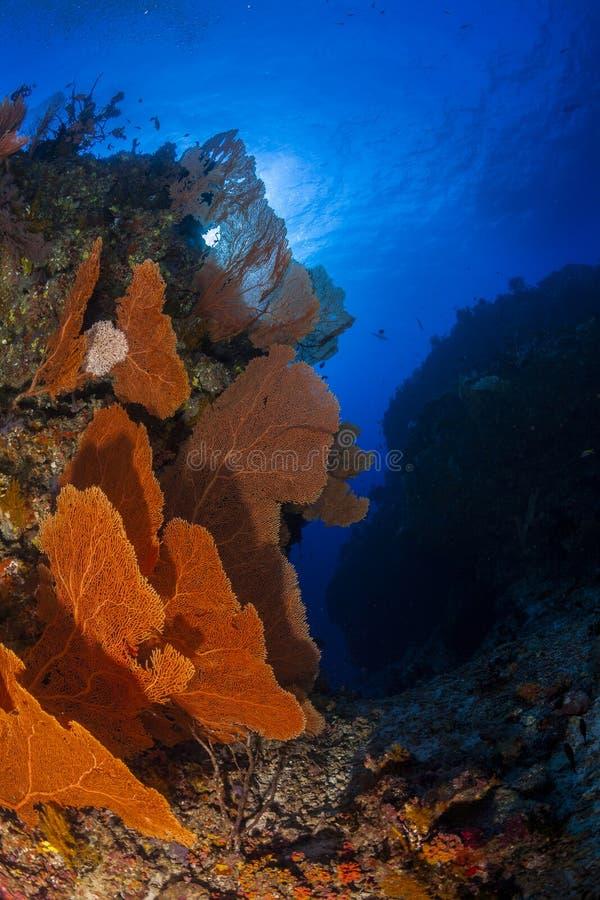 Corail de Seafan et fond de l'eau bleue dans l'Océan Indien des Maldives images libres de droits
